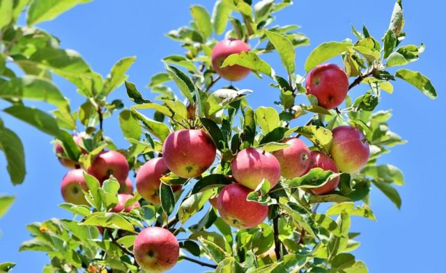Podstawowa wiedza dla działkowca – drzewka owocowe (formowanie i nawożenie)