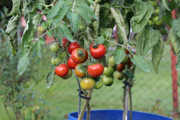 warzywa na ogrodzie